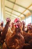Poule brune curieuse à une ferme de poulet organique Images stock