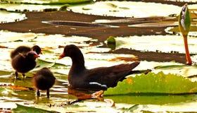 Poule d'eau avec l'alimentation de poussins Image libre de droits
