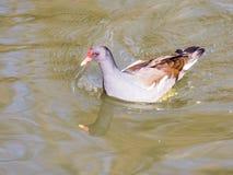 Poule d'eau commune Photo libre de droits