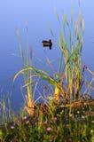Poule d'eau commune Image libre de droits