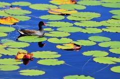 Poule d'eau dans l'étang photos stock