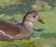 Poule d'eau dans les eaux immobiles Photos stock