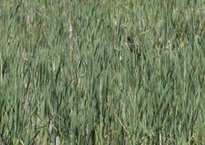 Poule d'eau dans les précipitations Image stock