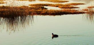 Poule d'eau sur le lac Photo libre de droits