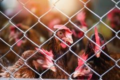 Poule dans l'agriculture de cage sur à l'intérieur le produit de la ferme à base de poulet pour l'oeuf photographie stock libre de droits