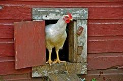 Poule dans la Chambre de poulet Photographie stock libre de droits