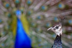 Poule de bec d'ancre et paon (amour à la première vue) Photos stock