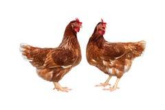 Poule de Brown d'isolement sur le fond blanc, poulet d'isolement sur le blanc photo stock