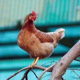 Poule de Brown dans la pose de l'arbre Photo stock