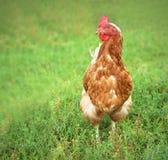 Poule de Brown recherchant la nourriture dans la basse cour Poulets Coq gratuit et poules de gamme Photographie stock libre de droits