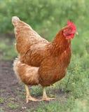 Poule de Brown recherchant la nourriture dans la basse cour Poulets Coq gratuit et poules de gamme Images stock
