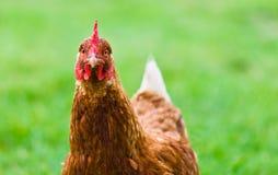 Poule de Brown sur une pelouse Photographie stock libre de droits