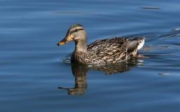 Poule de canard de Mallard Photo libre de droits