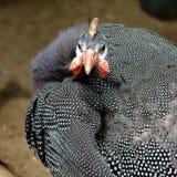 Poule de Guinée Image libre de droits