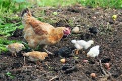 Poule de mère avec des poulets images libres de droits