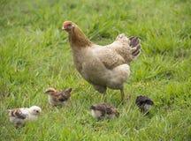 Poule de mère avec ses poussins Photographie stock