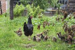 Poule de mère avec son poulet de bébé Photographie stock libre de droits