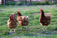 Poule de poulet photographie stock