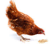 Poule de poulet Photos libres de droits