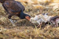 Poule domestique thaïlandaise de poulet alimentant avec le poulet de bébé sur le gro rural Photo stock