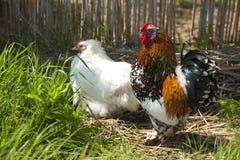 Poule et coq Image stock