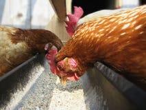 Poule et coq picotant le grain de la cuvette Photographie stock