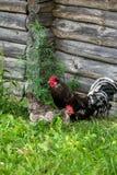 Poule et coq sur la grange d'herbe et de rondin Image libre de droits
