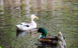 Poule et Drake de Mallard Photographie stock libre de droits