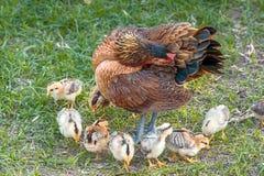 Poule et jeunes poussins Photos libres de droits