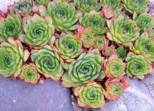 Poule et nanas Image stock