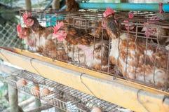 Poule et oeufs images stock