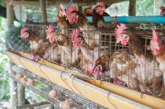 Poule et oeufs photographie stock libre de droits