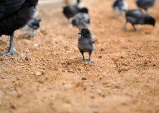 Poule et poulets de mère Photographie stock libre de droits