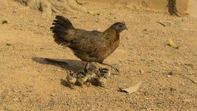 Poule et poussins de poulet Photos libres de droits