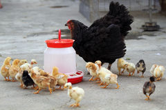 Poule et poussins gloussants image stock