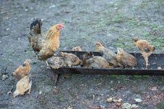 Poule et poussins rouges Images libres de droits