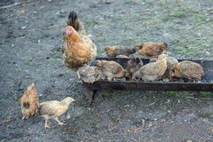 Poule et poussins rouges Photographie stock libre de droits