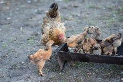Poule et poussins rouges Photo libre de droits