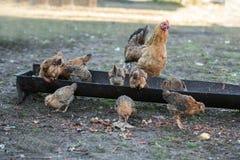 Poule et poussins rouges Image libre de droits