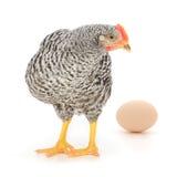Poule grise avec l'oeuf Photographie stock libre de droits
