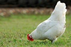 Poule mangeant dans un domaine ouvert Photo stock
