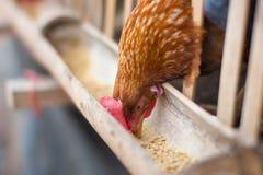 Poule mangeant de la nourriture dans la ferme Photo libre de droits