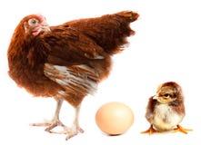 Poule, nana et oeuf de poulet. Image libre de droits