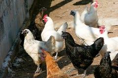 Poule noire de poulet qui a des plumes tout au long de ses serres images libres de droits