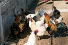 Poule noire de poulet qui a des plumes tout au long de ses serres photographie stock libre de droits