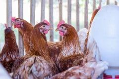 Poule, oeufs de poulet dans la ferme image libre de droits