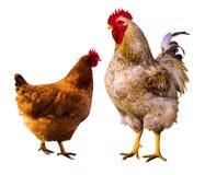 poule Portrait de poule Poule dans une ferme Poulet d'isolement Coq et Photo libre de droits