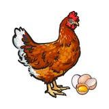 Poule, poulet et oeufs - entiers et cassés dans la moitié illustration stock