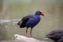 Poule pourpre de marais dans l'eau en Australie photo stock