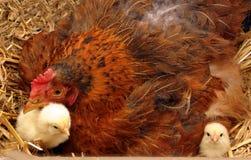 Poule rêveure et poulets de mère image stock